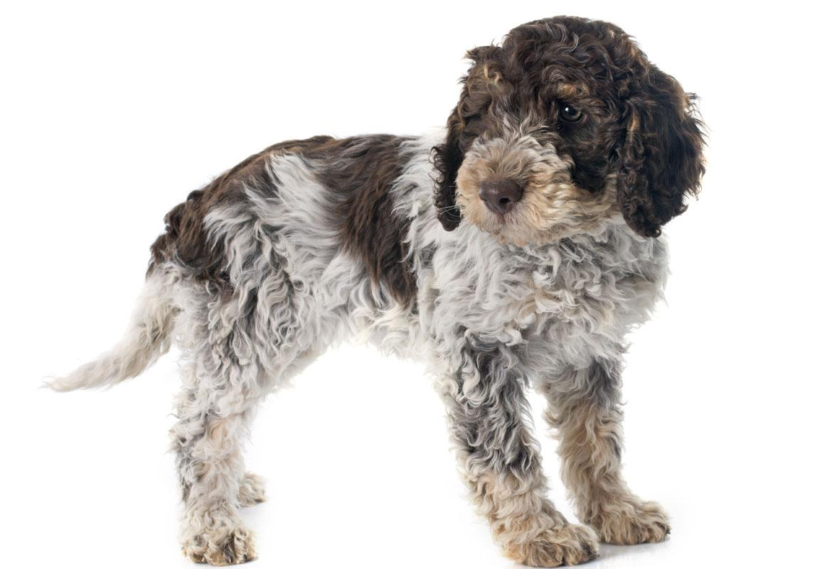 Lagotto Romagnolo Breed