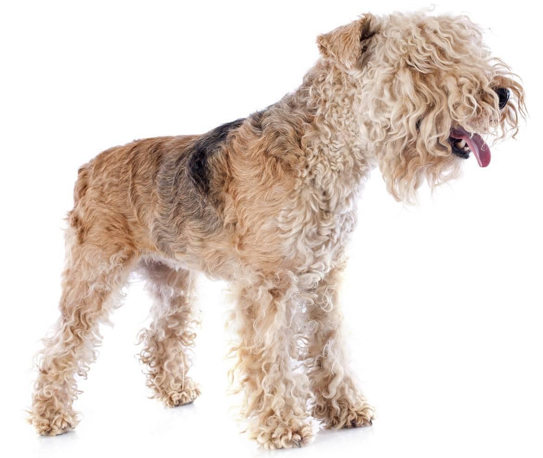Lakeland Terrier Breed