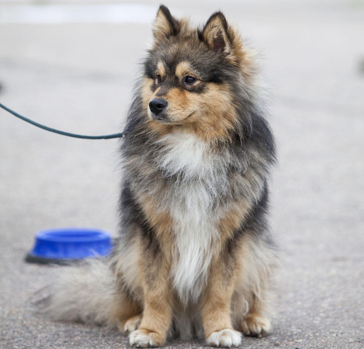 Lapponian Herder Breed