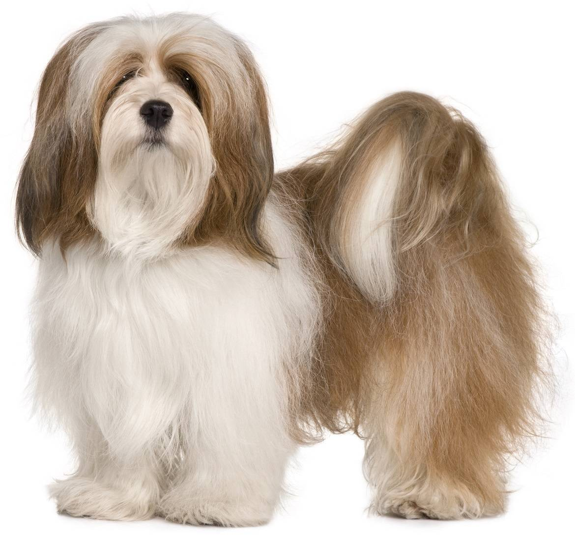 Lhasa Apso Breed