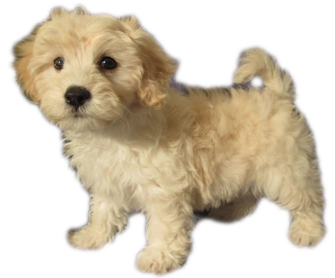 Lhasapoo Breed
