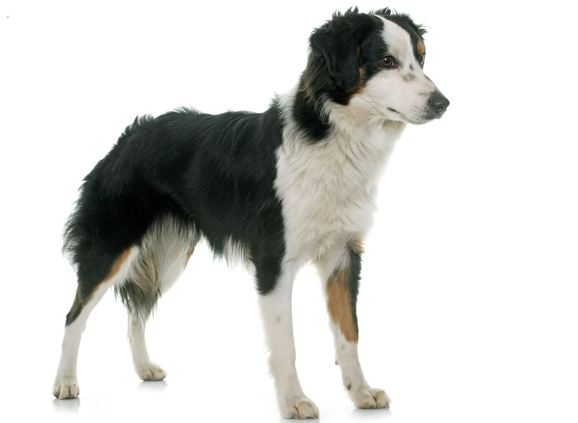Miniature American Shepherd Breed