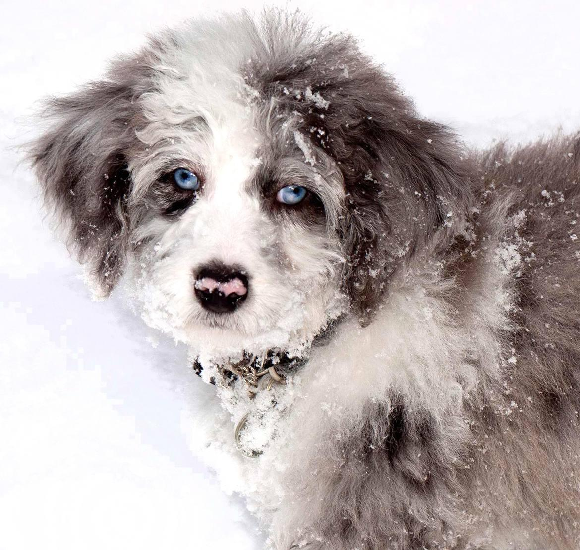 Miniature Aussiedoodle Breed