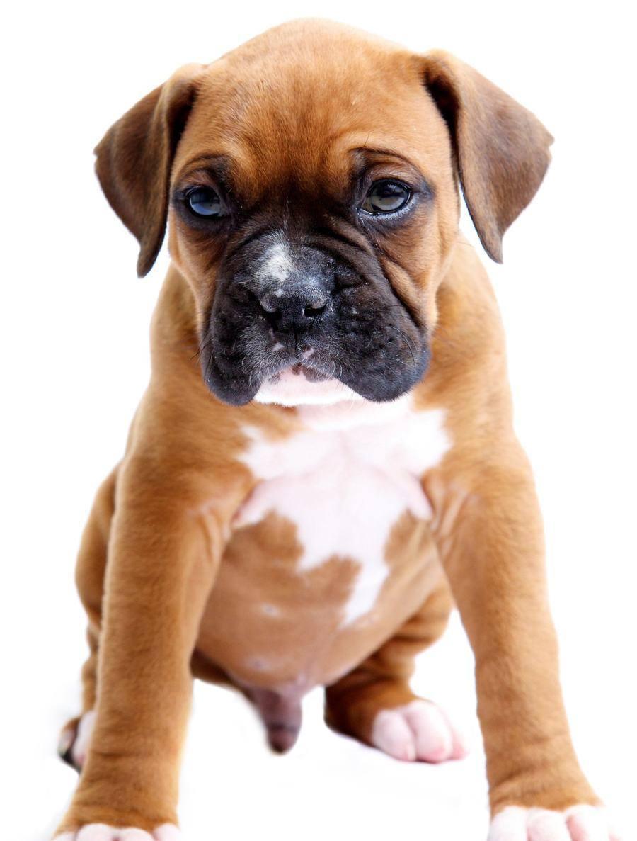 Miniature Boxer Breed
