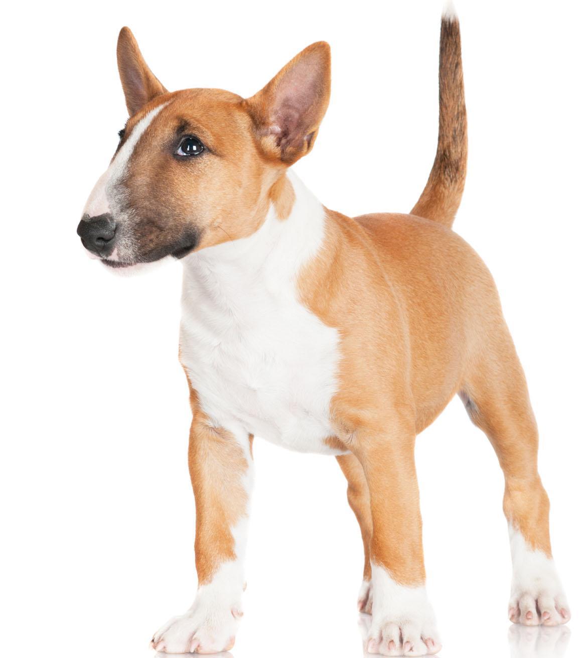 Miniature Bull Terrier Breed