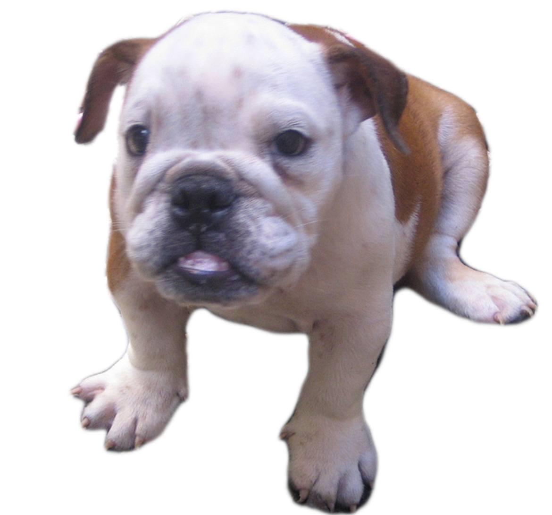 Miniature Bulldog Breed