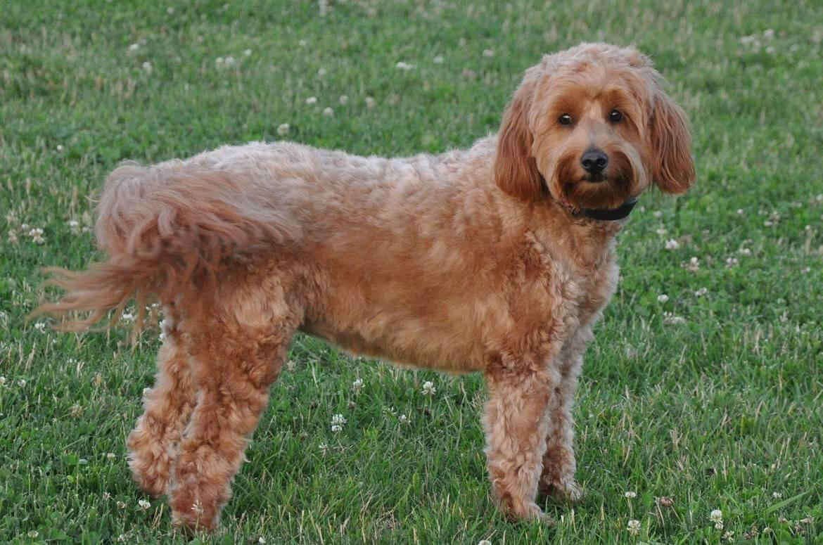 Miniature Goldendoodle Breed