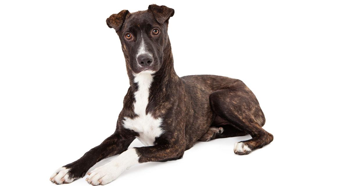 Mountain Cur Breed