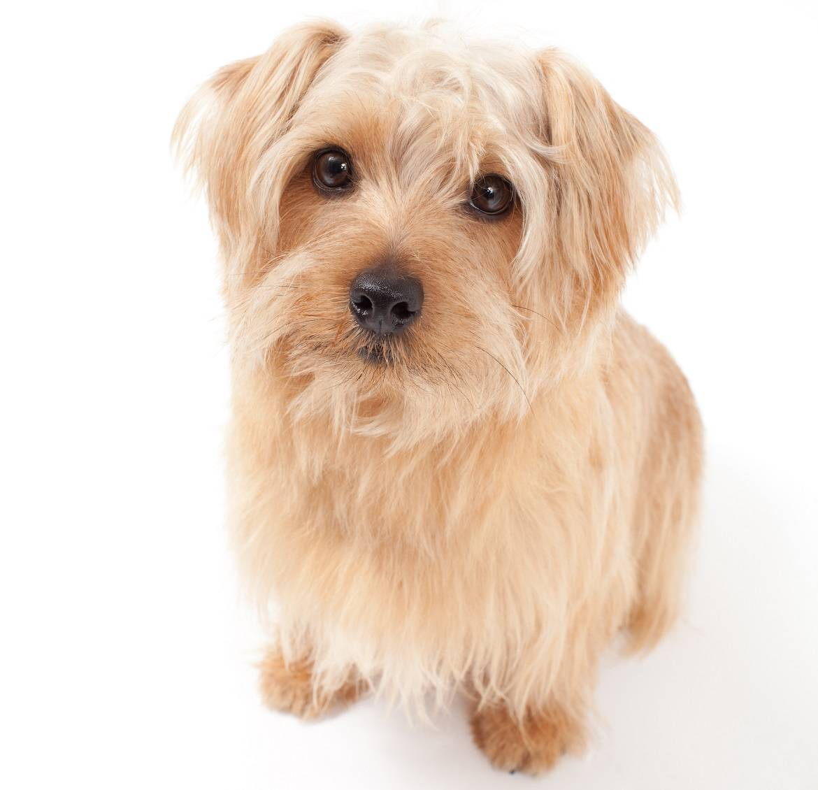 Norfolk Terrier Breed