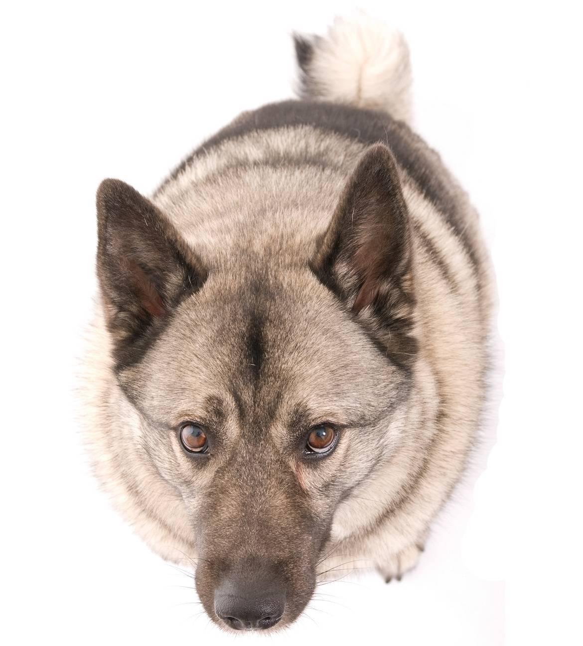 Norwegian Elkhound Breed