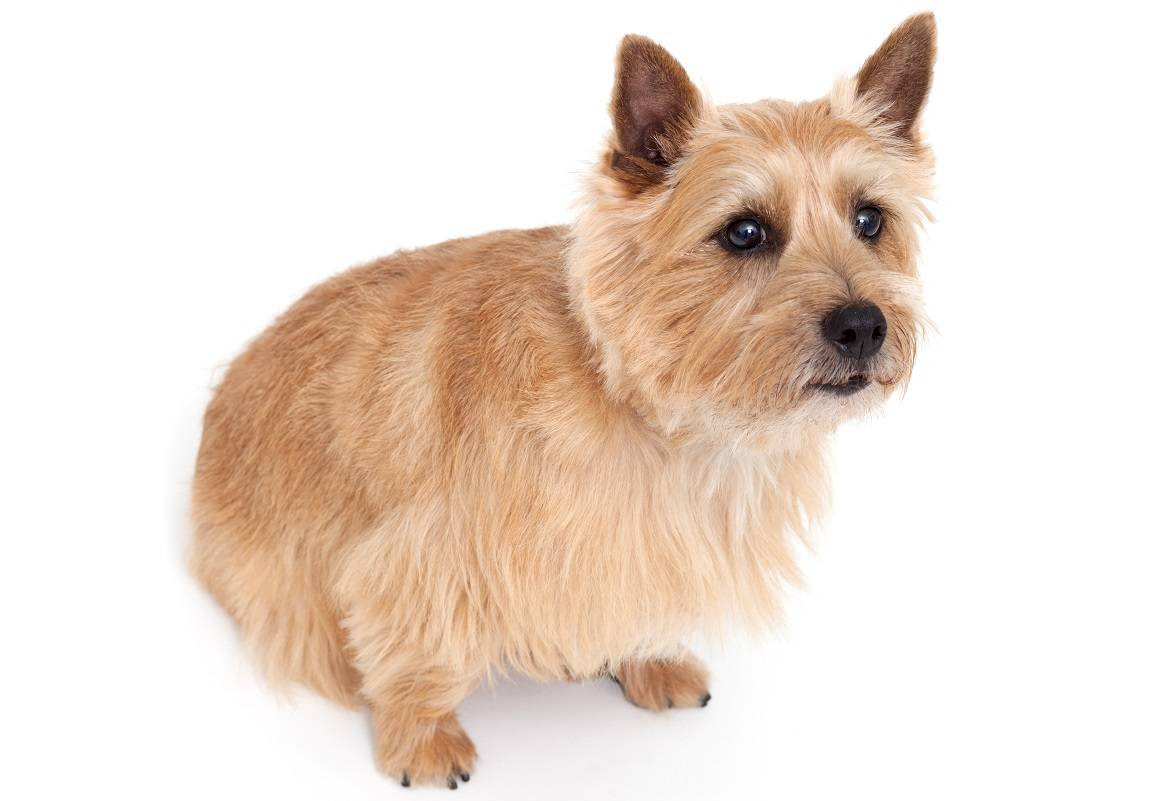 Norwich Terrier Breed