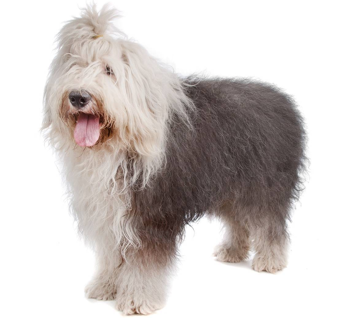 Old English Sheepdog Breed