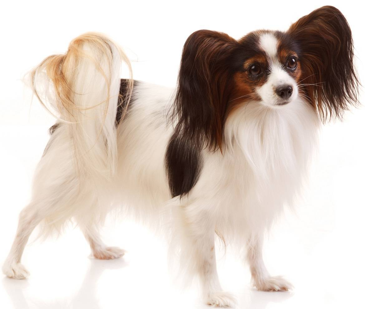 Papillon Breed