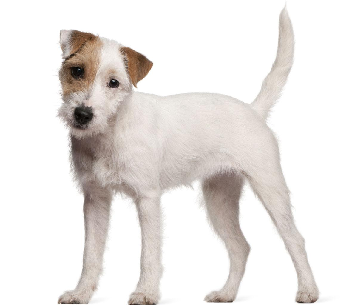 Parson Russell Terrier Breed