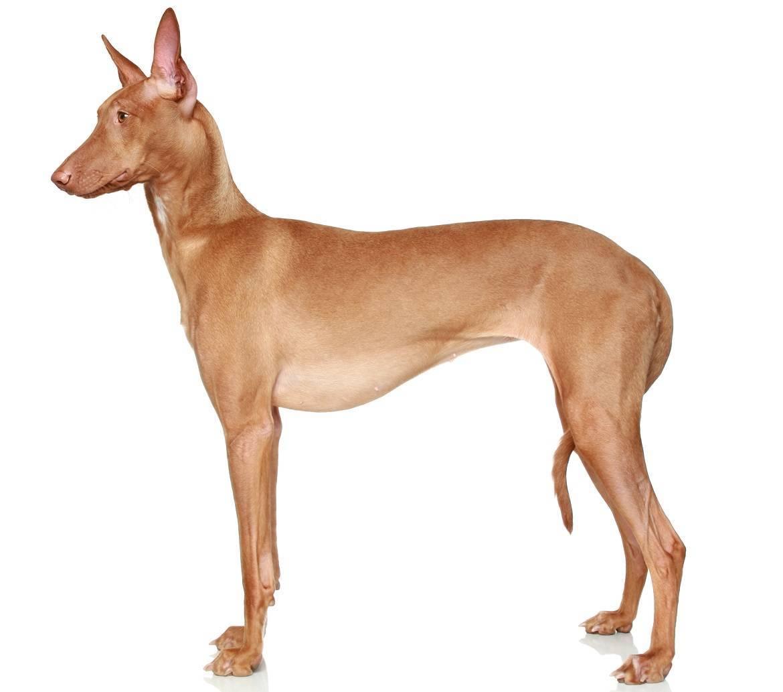 Pharaoh Hound Breed