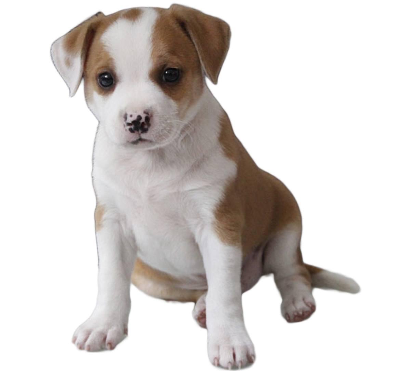 Pit Bull Chihuahua Mix Breed