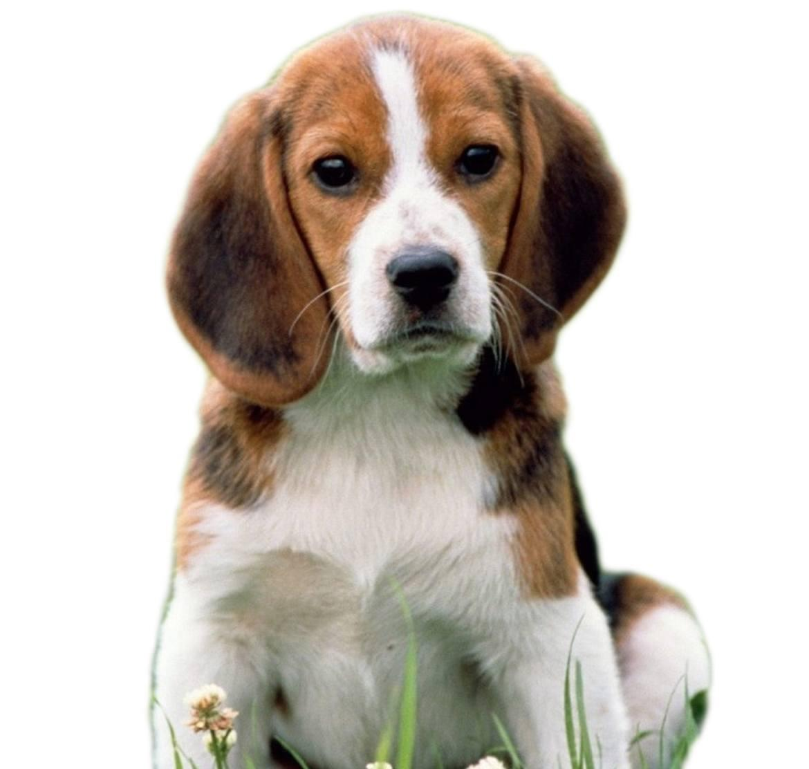 Pocket Beagle Breed