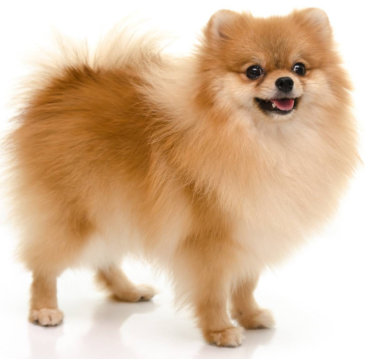 Pomeranian Breed