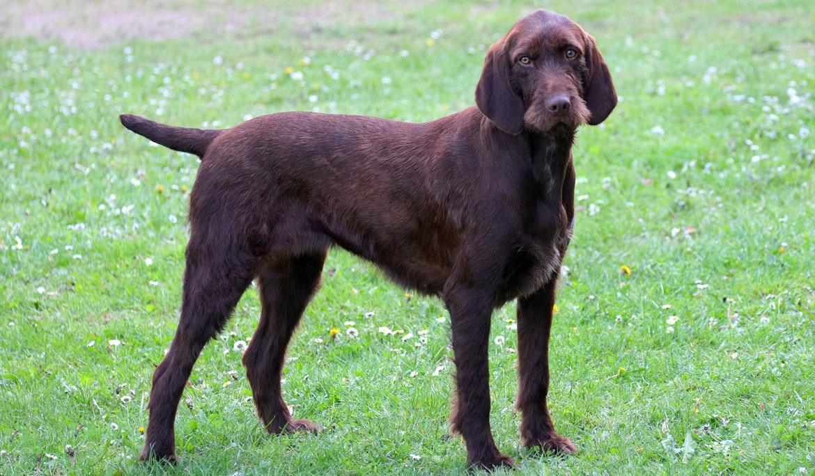 Pudelpointer Breed