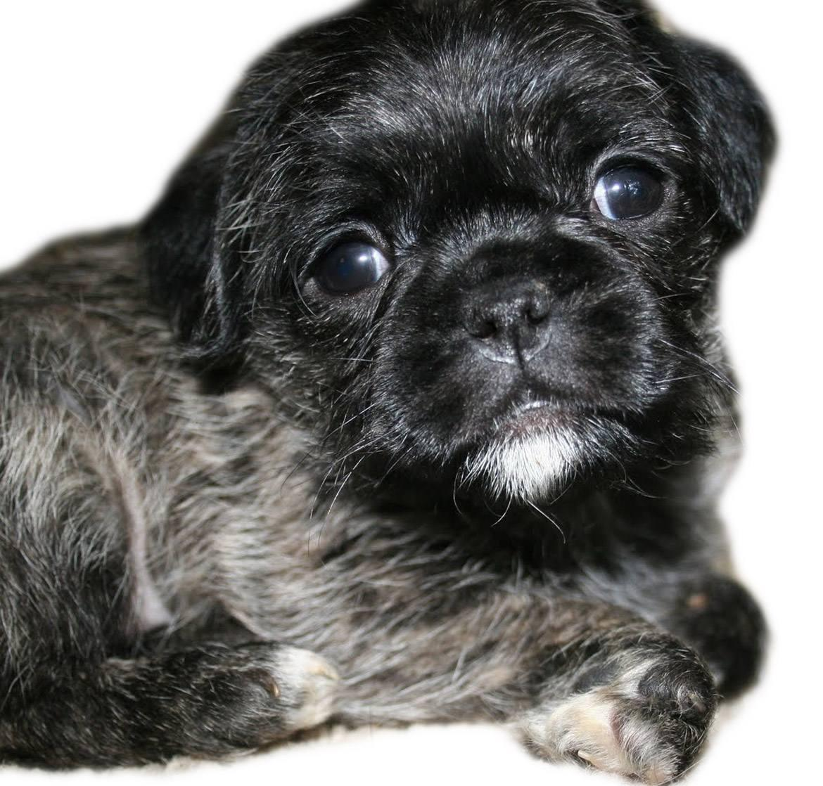 Pugapoo Breed