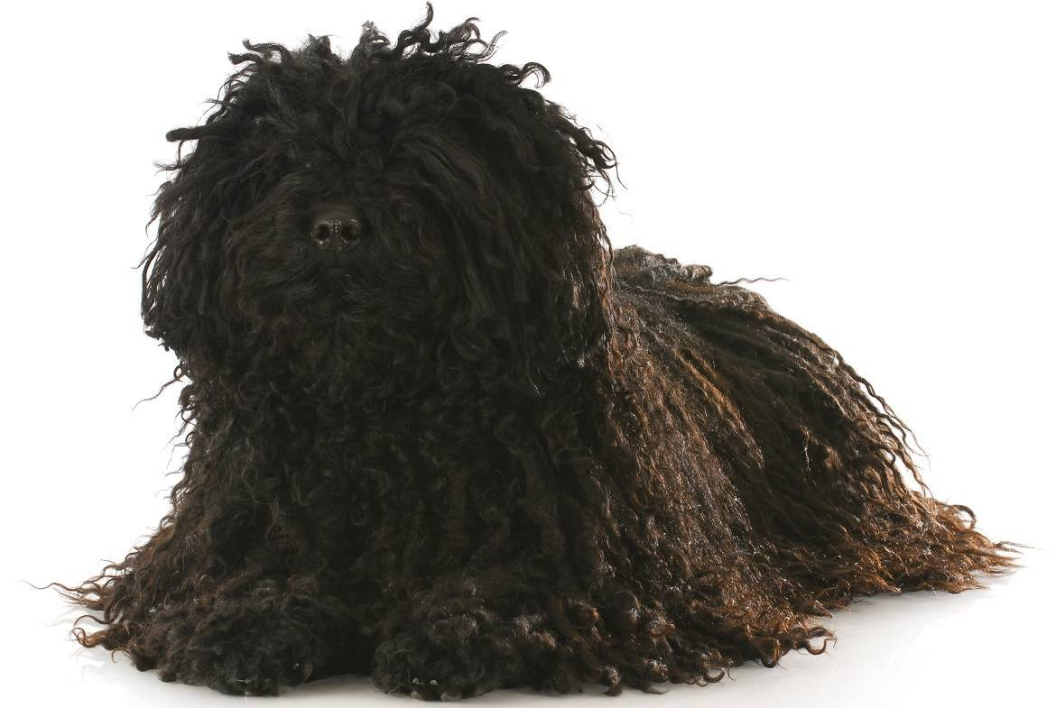 Puli Breed