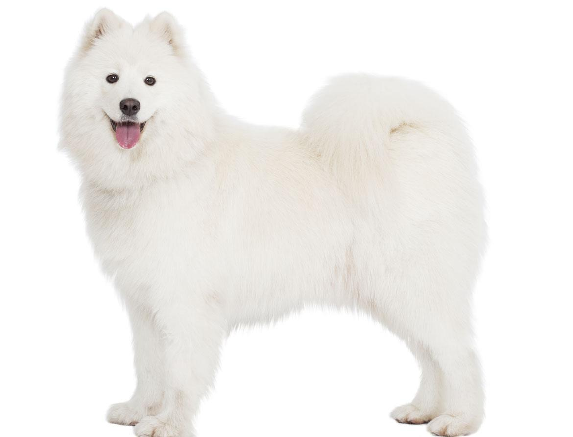 Samoyedb Breed
