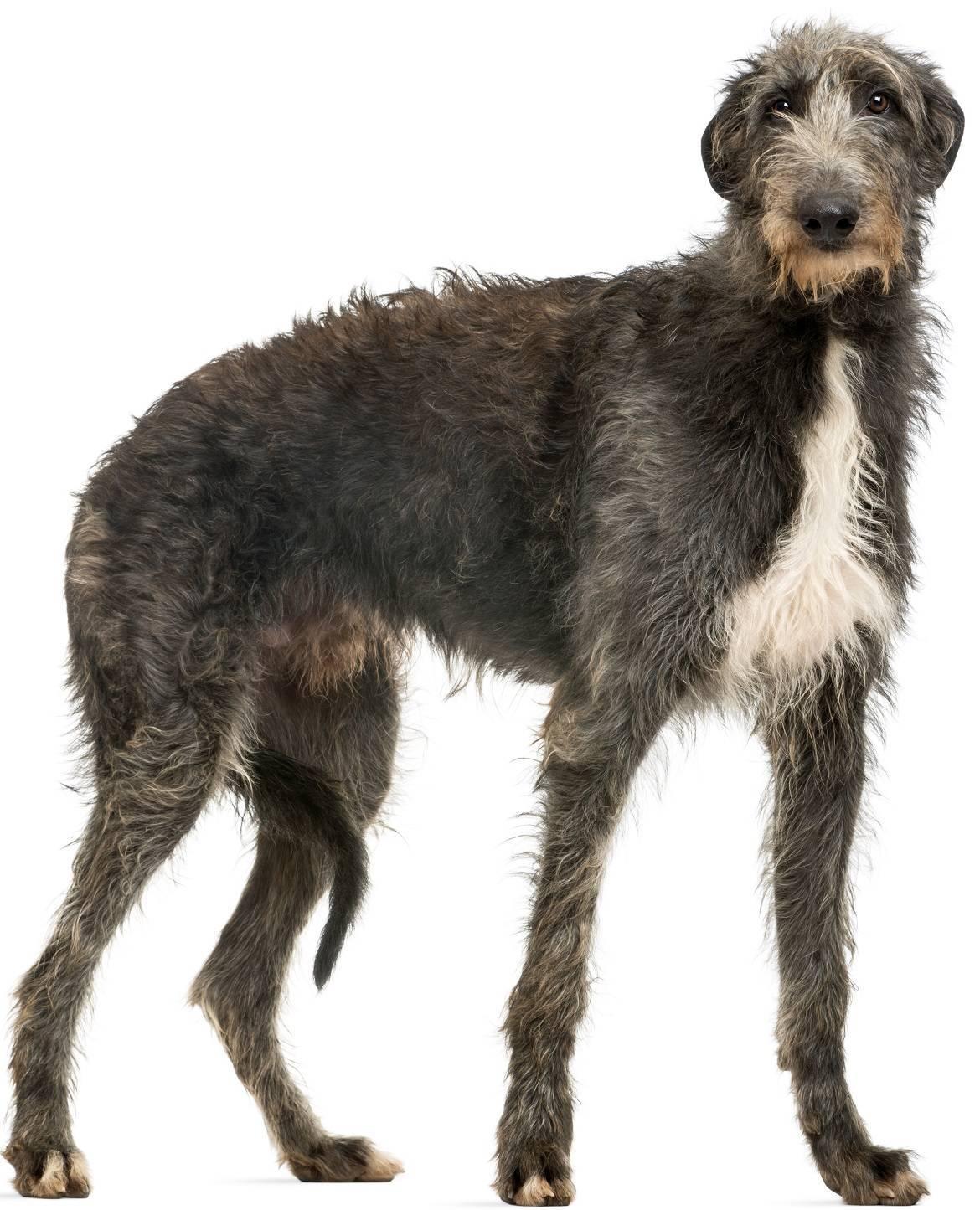 Scottish Deerhound Breed
