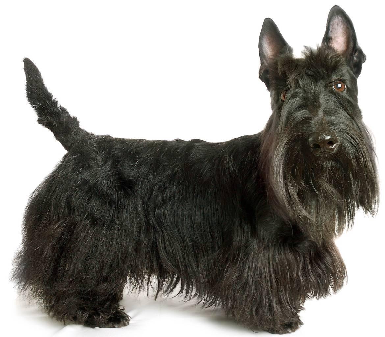 Scottish Terrier Breed
