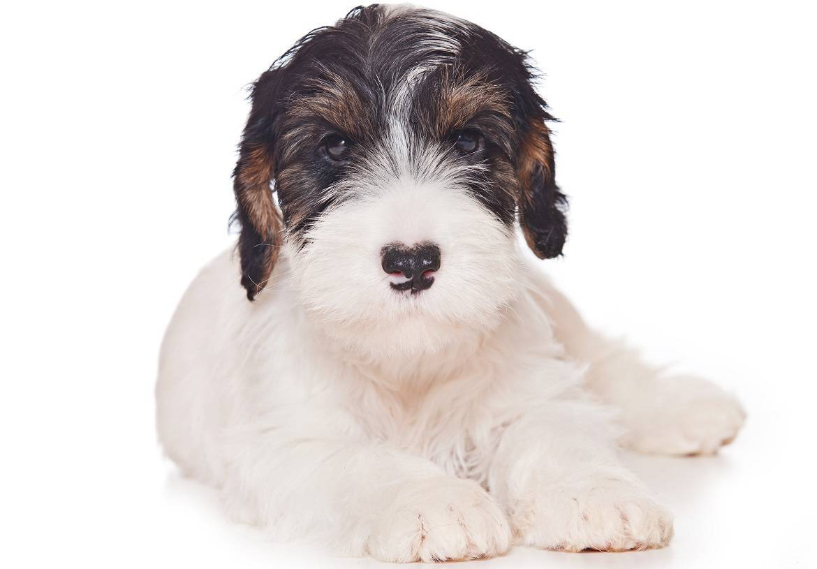 Sealyham Terrier Breed