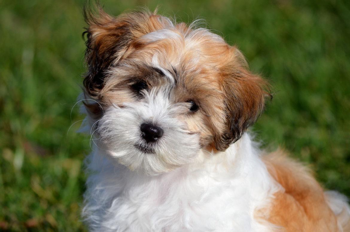 Shichon Breed
