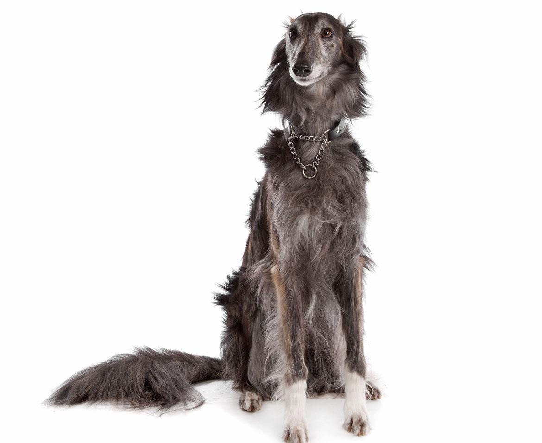Silken Windhound Breed
