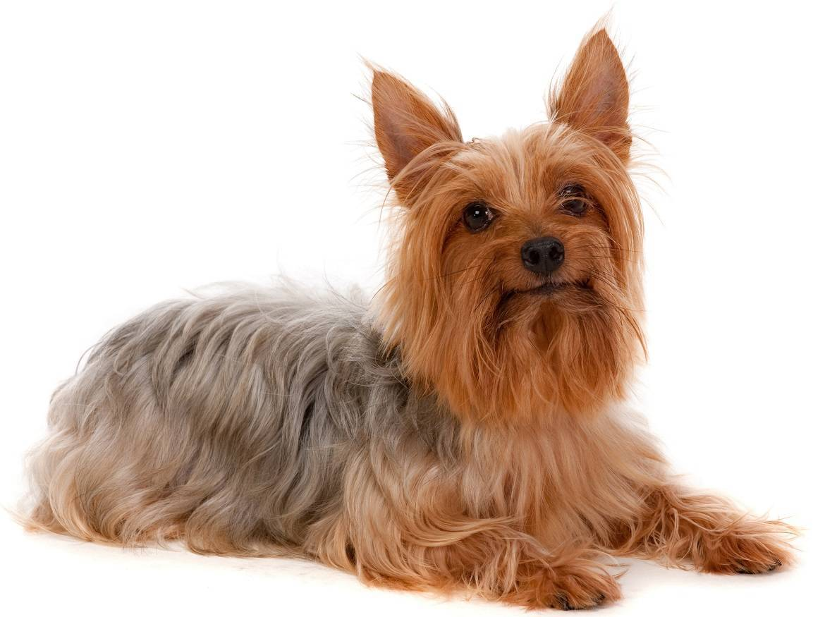 Silky Terrier Breed