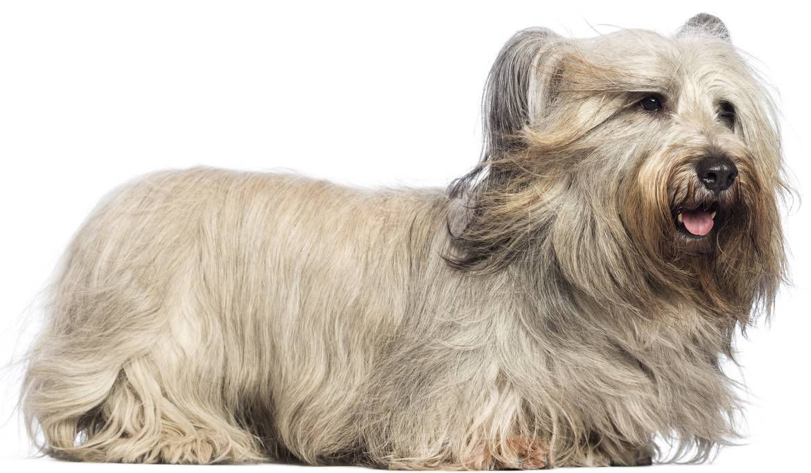 Skye Terrier Breed
