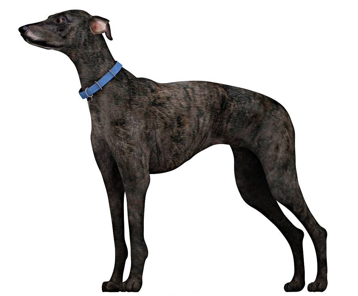 Sloughi Breed