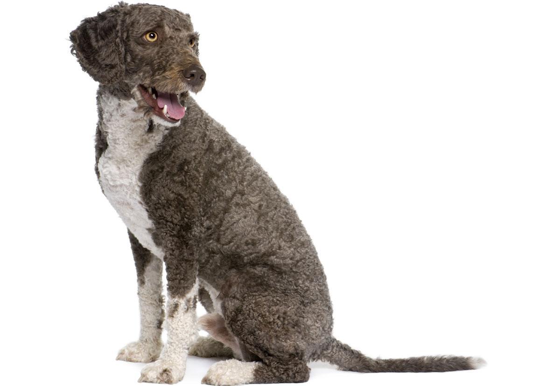 Spanish Water Dog Breed