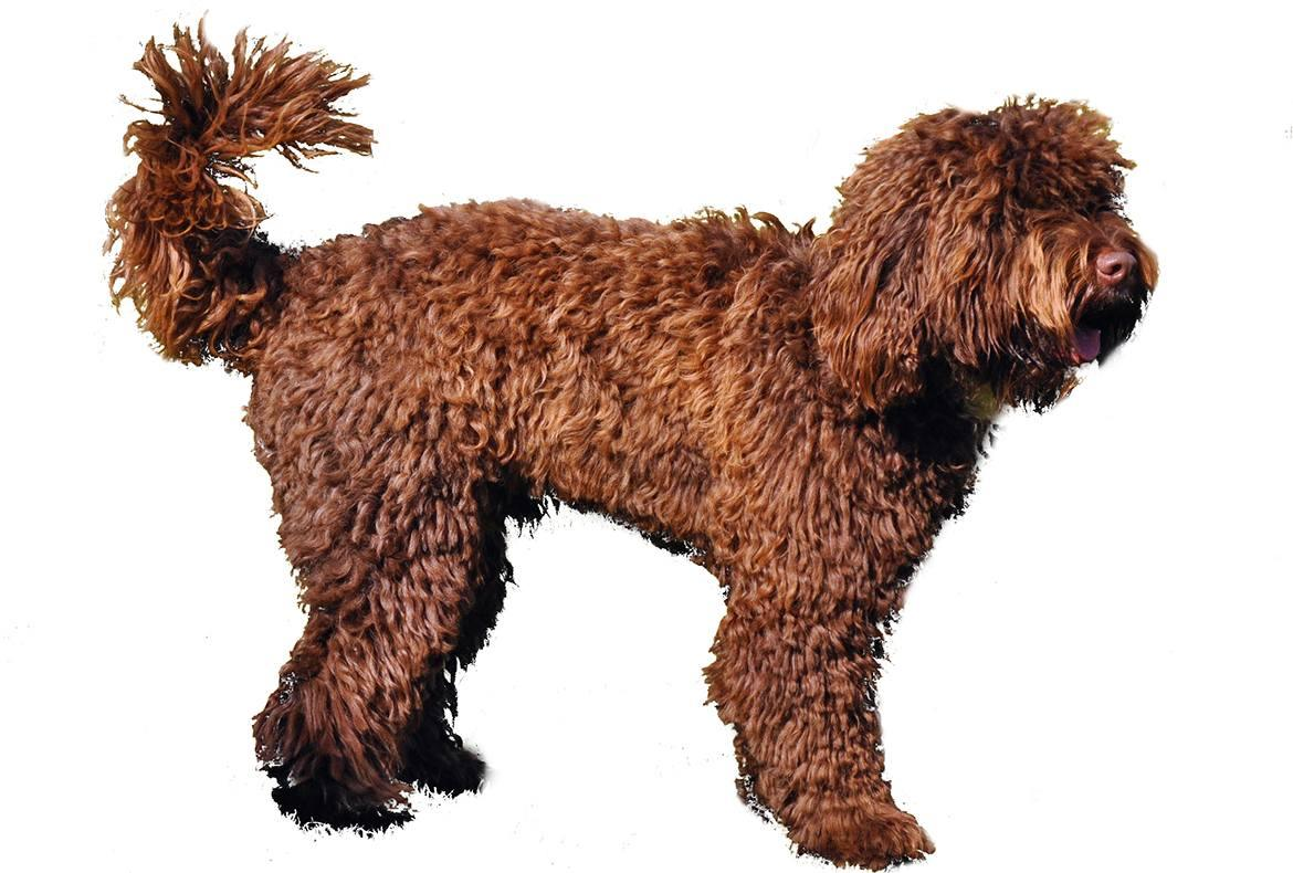 Springerdoodle Breed