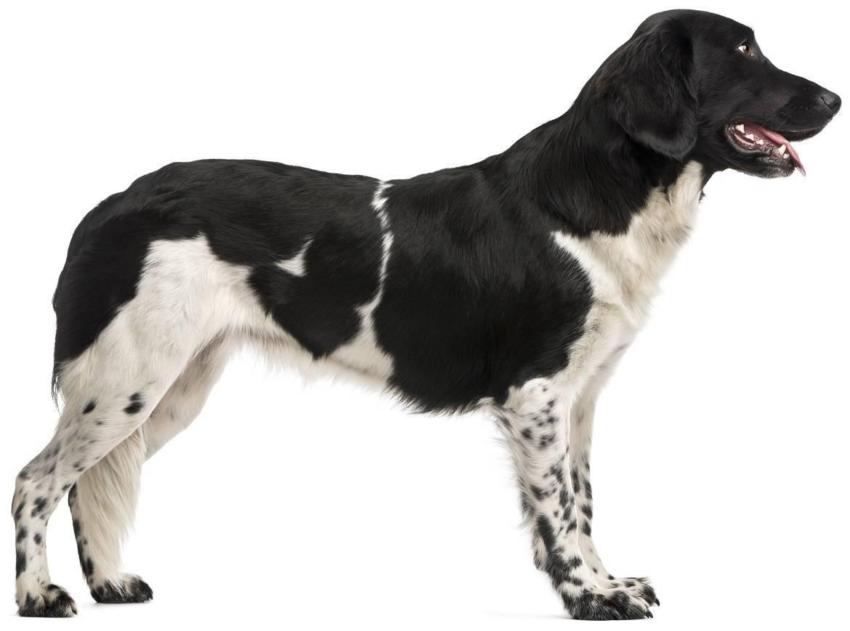 Stabyhoun Breed