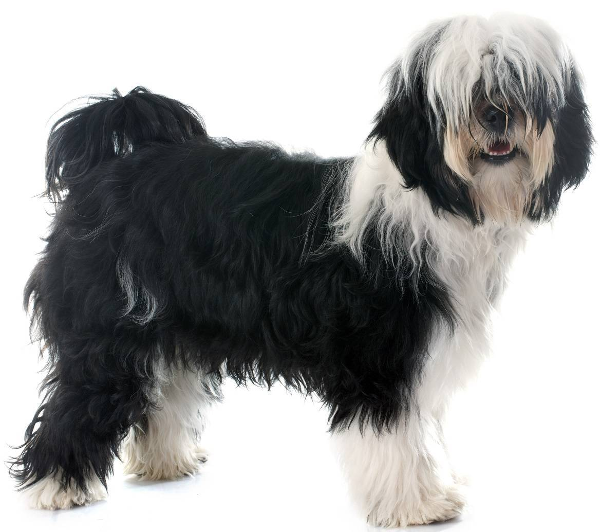 Tibetan Terrier Breed