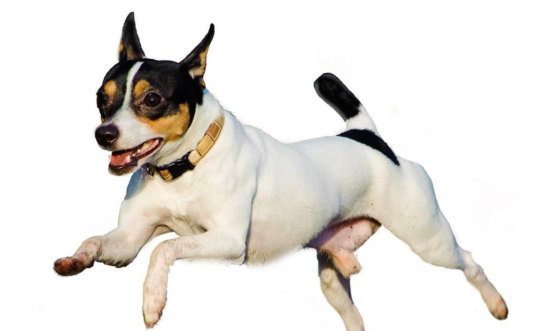 Toy Fox Terrier Breed