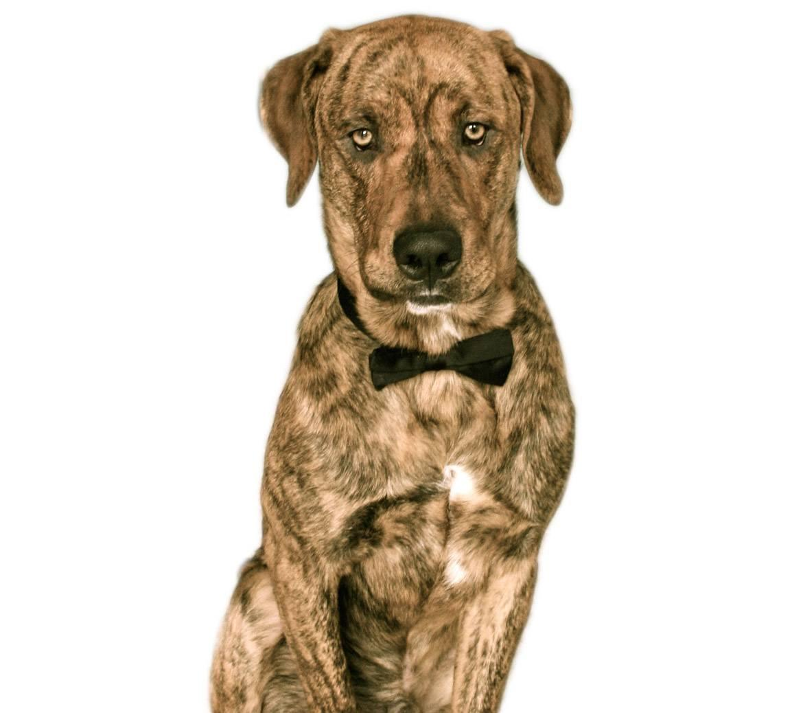 Treeing Tennessee Brindle Breed