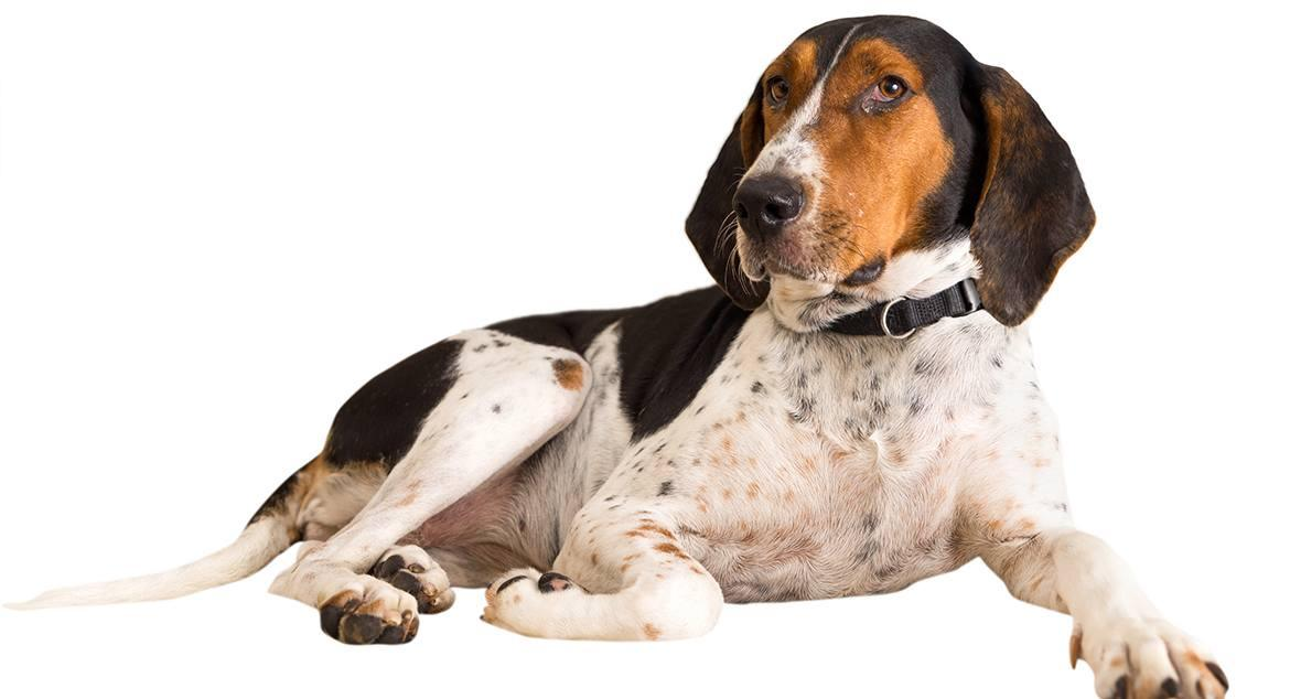 Treeing Walker Coonhound Breed