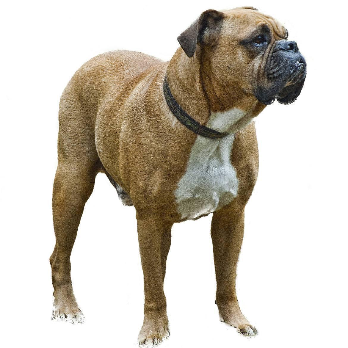 Valley Bulldog Breed