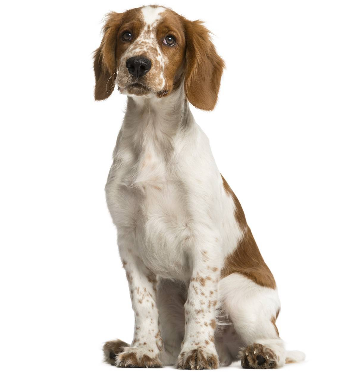 Welsh Springer Spaniel Breed