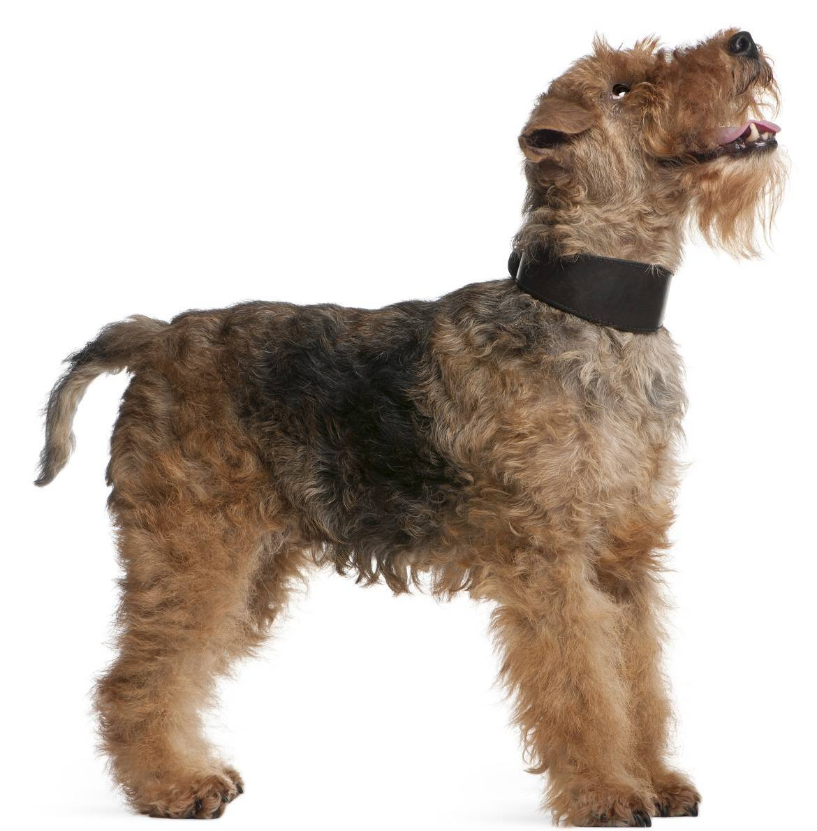 Welsh Terrier Breed