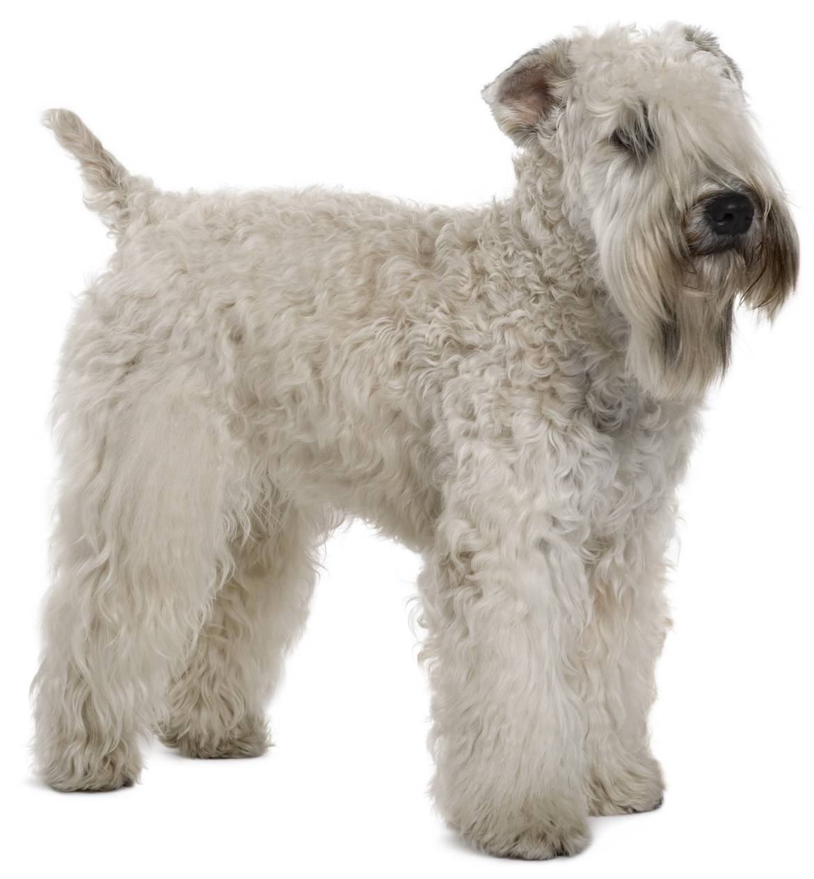Soft Coated Wheaten Terrier Breed