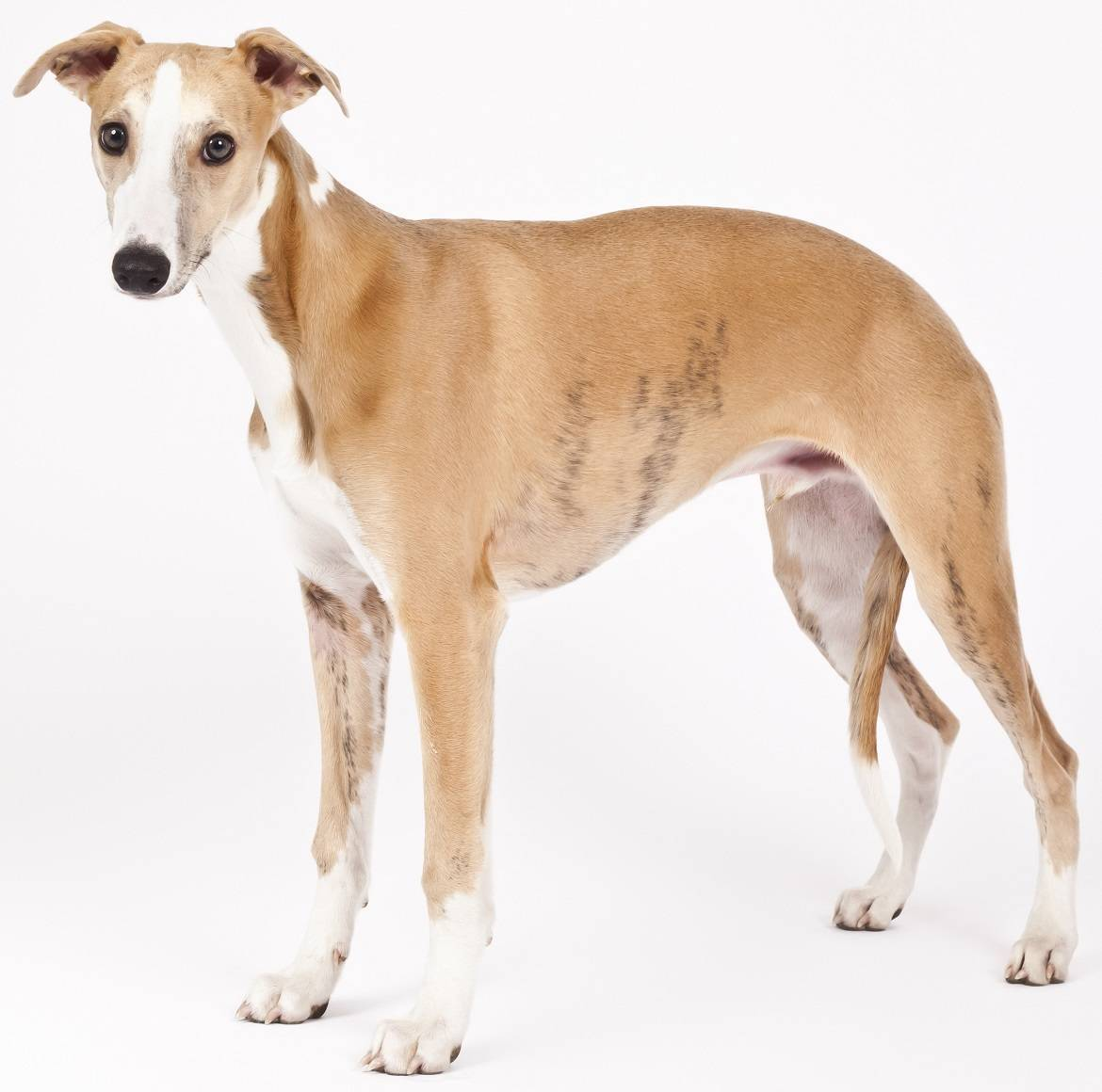 Whippet Breed