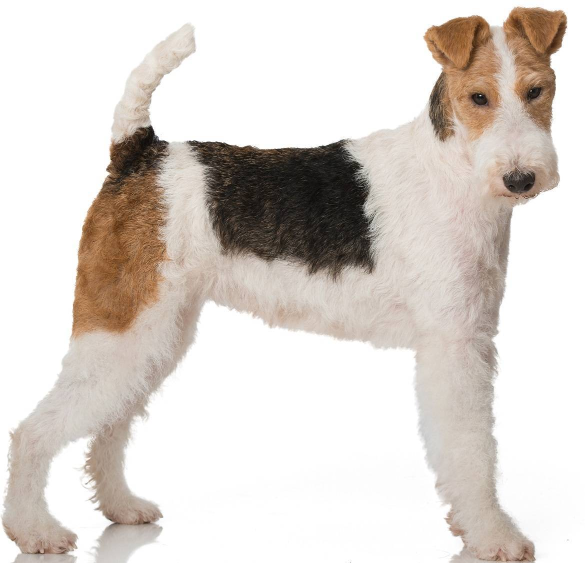 Wire Fox Terrier Breed