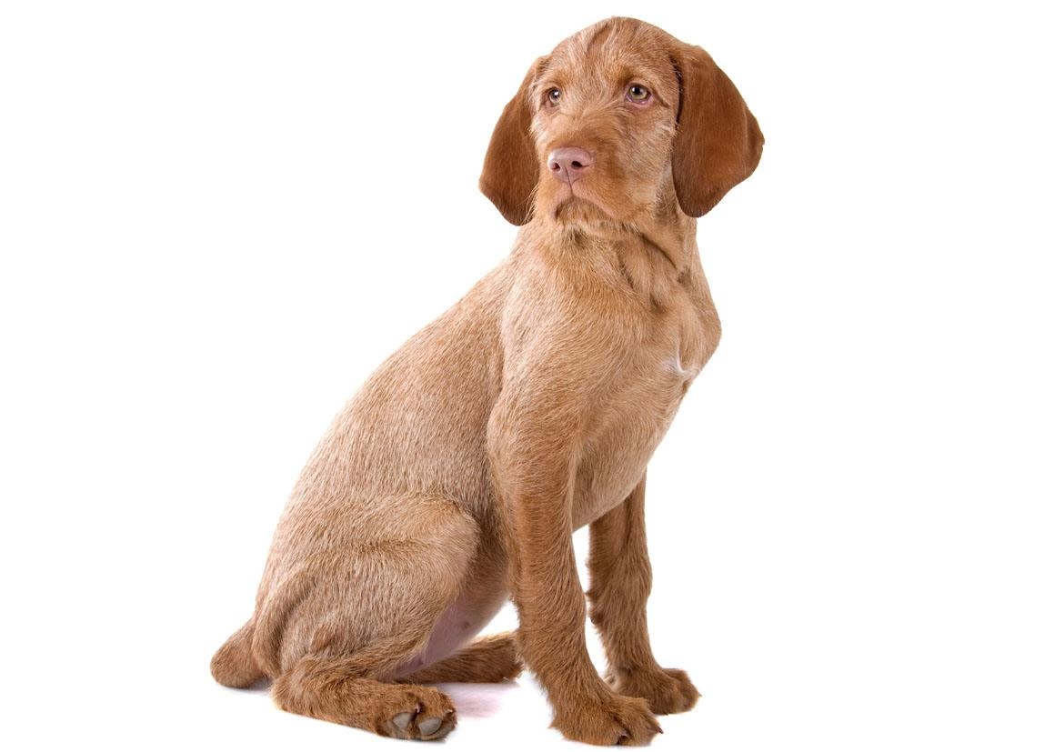 Wirehaired Vizsla Breed