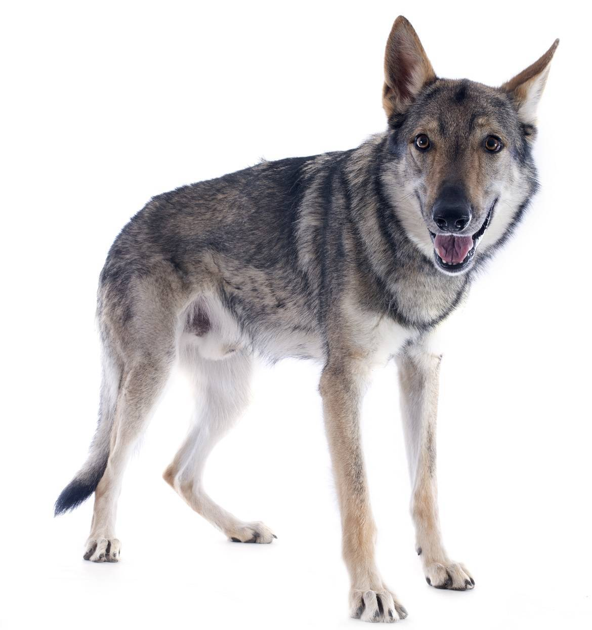 Czechoslovakian Wolfdog Breed