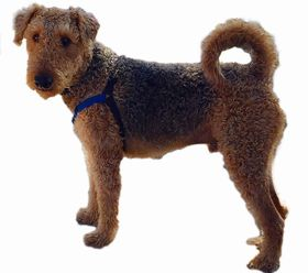 Airedoodle Breed
